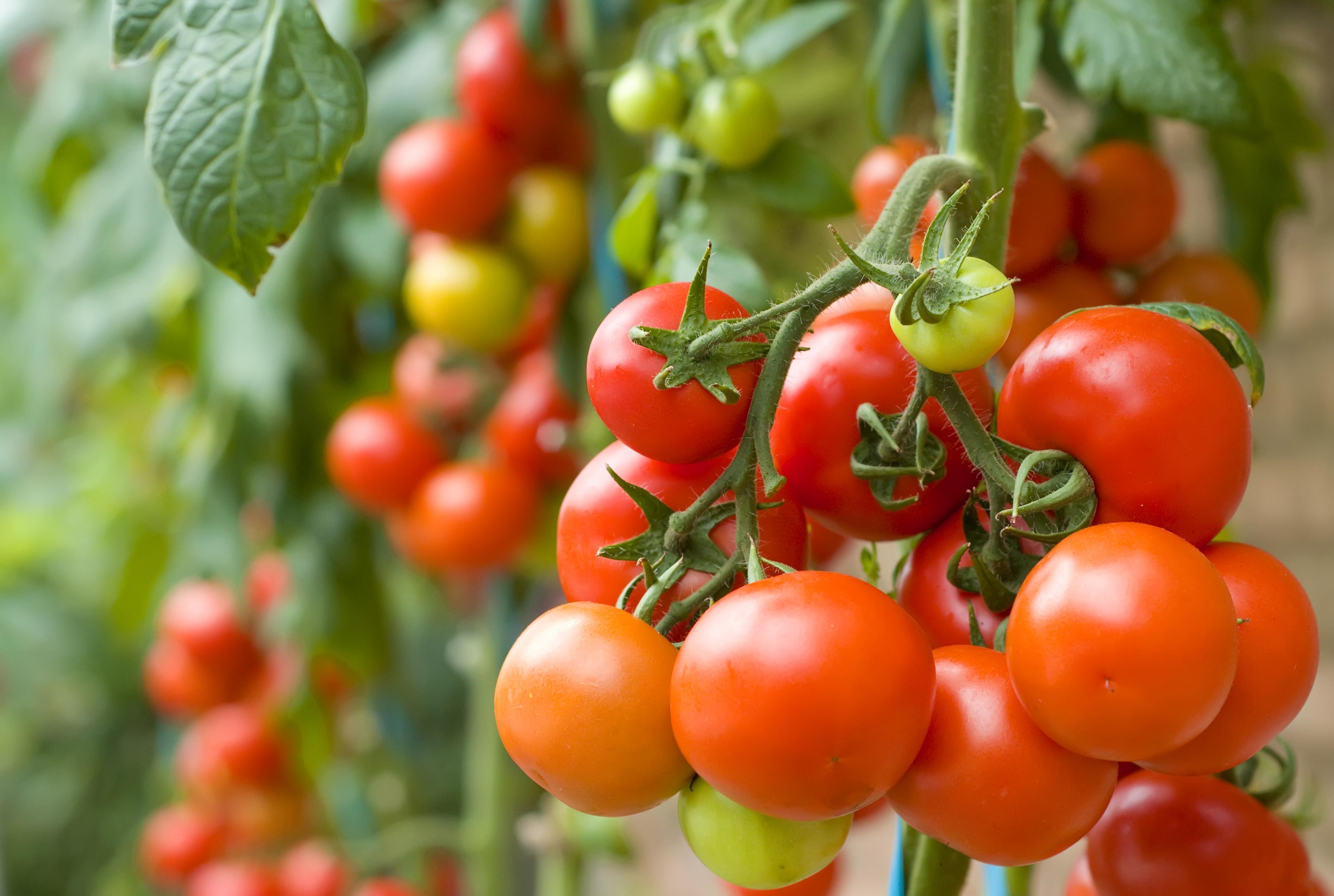 agrosol_tomates